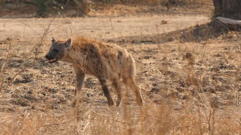 spotted hyena walking and disappears
