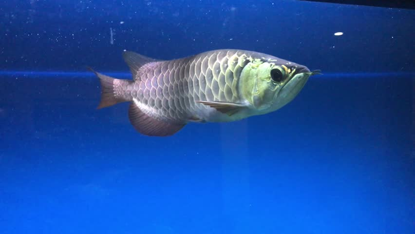 Asian Arowana also known as Scleropages formosus swimming in an aquarium. #25633598