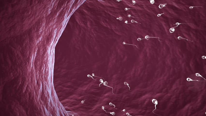 HD animation of sperm cells swimming  inside ductus deferens