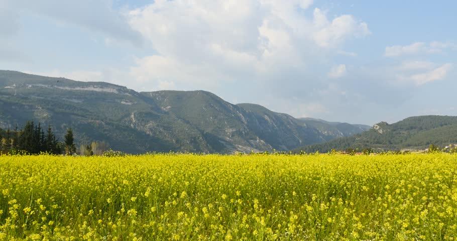 yellow flower fields 4k spring Blooming canola field. Rape on the field in summer. Bright Yellow rapeseed oil. Flowering rapeseed.