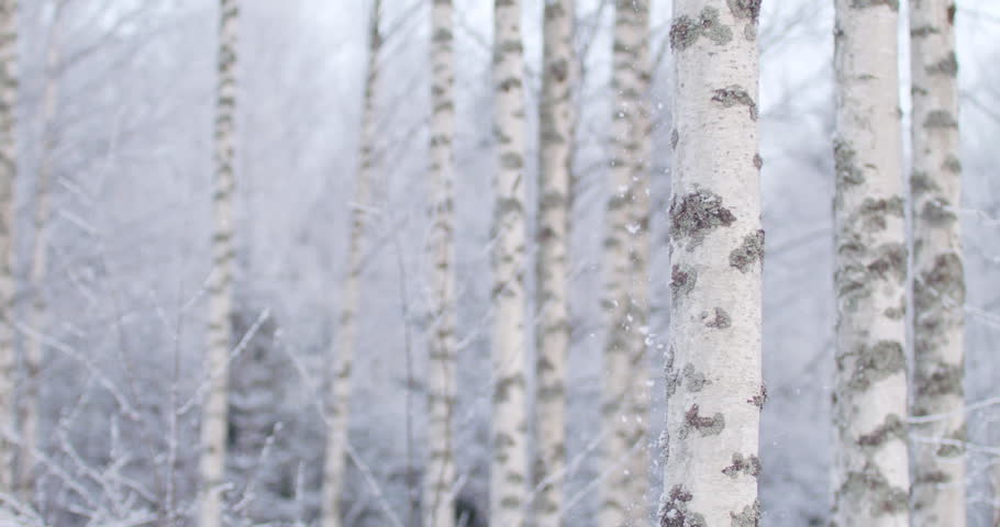 Snow begins to fall in birch forest