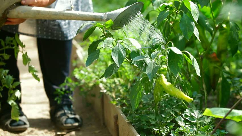 Gardener watering chilly pepper in vegetable garden
