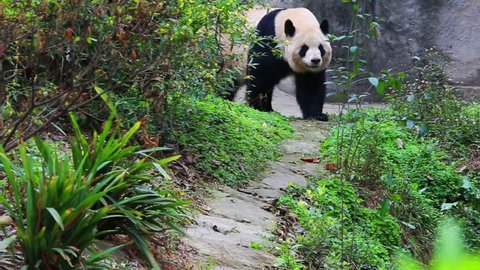 China's zoo in Chengdu, the panda in the sport of the video