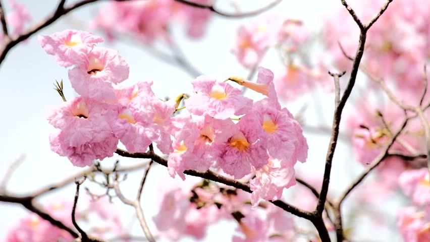 Pink trumpet tree flower blooming in Thailand's summer.