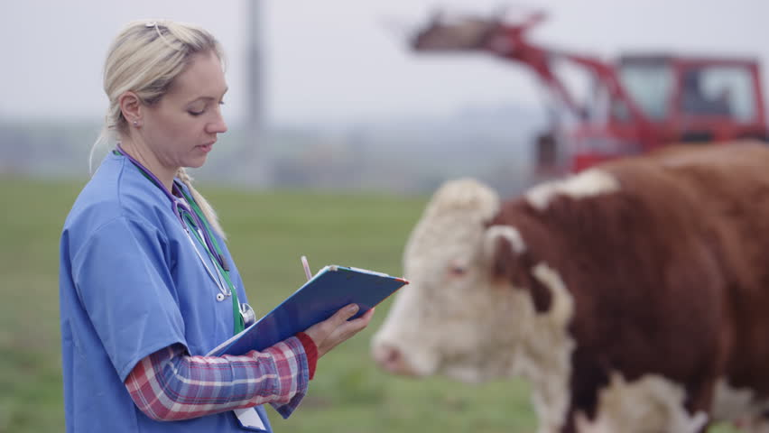4K Portrait smiling farming vet out in the field checking on cattle