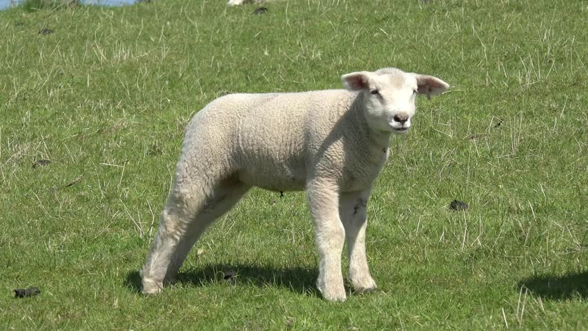 White Sheep lamb standing on pasture, licks and shakes | Shutterstock HD Video #25818098