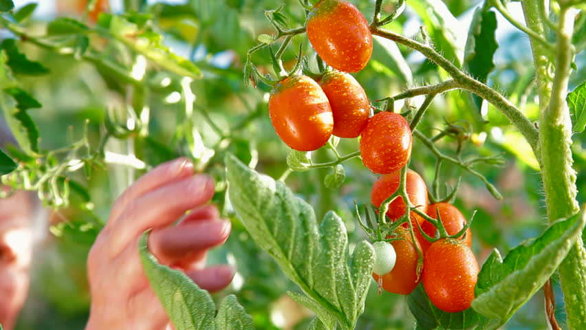 Female Gardener Picking Ripe Plum Tomato in Vegetable Garden