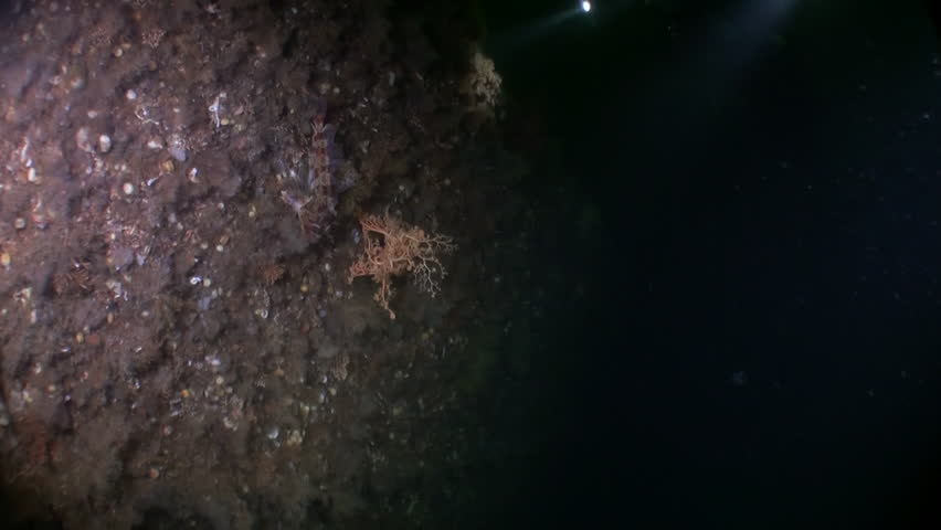 Gorgon sea on background seabed underwater in ocean of Alaska. Swimming in amazing world of beautiful wildlife. Inhabitants in search of food. Abyssal relax diving.