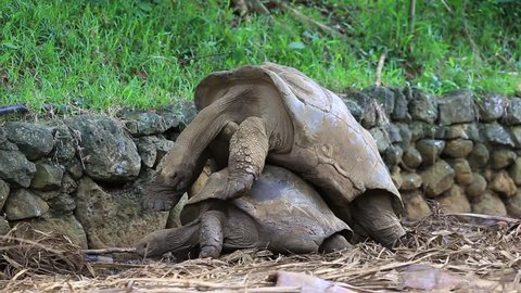 Two giant turtles, dipsochelys gigantea making love in island Mauritius. Copulation is a difficult endeavour for these animals, as the shells make mounting extremely awkward