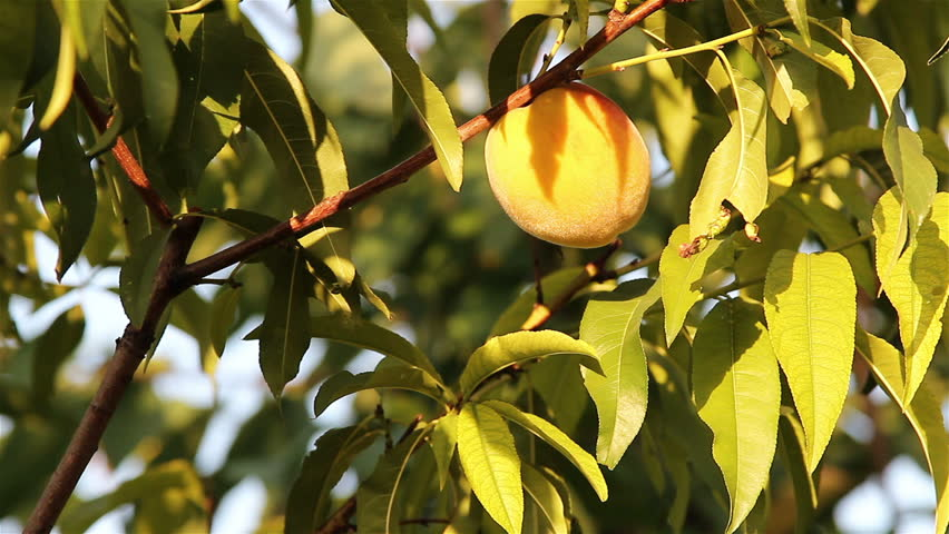 Slow zoom in on peaches on the tree, hand pick the peach.