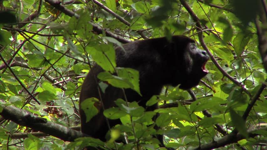 Howler monkey full shot (Alouatta Palliata, howling male, with direct original sound).