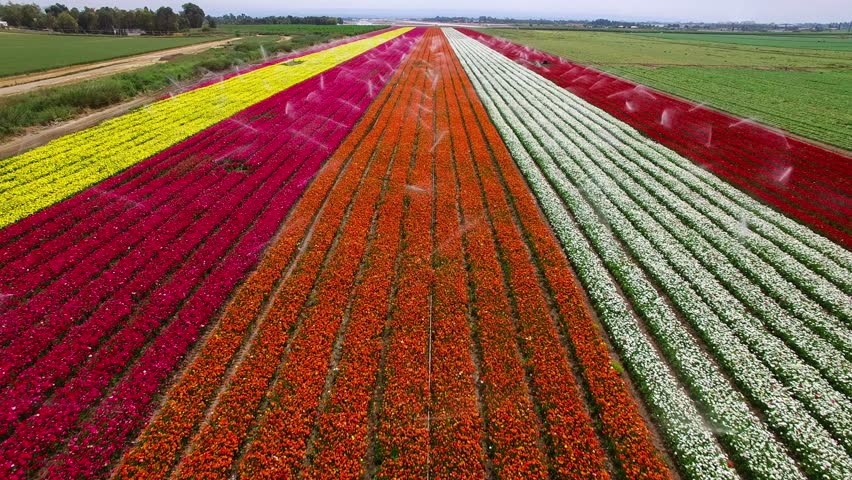 Aerial flight looking down over a Field of blossoming colorful buttercup flowers creates carpet of colors. working sprinkler splashing drops of water over the field part of an irrigation system Israel