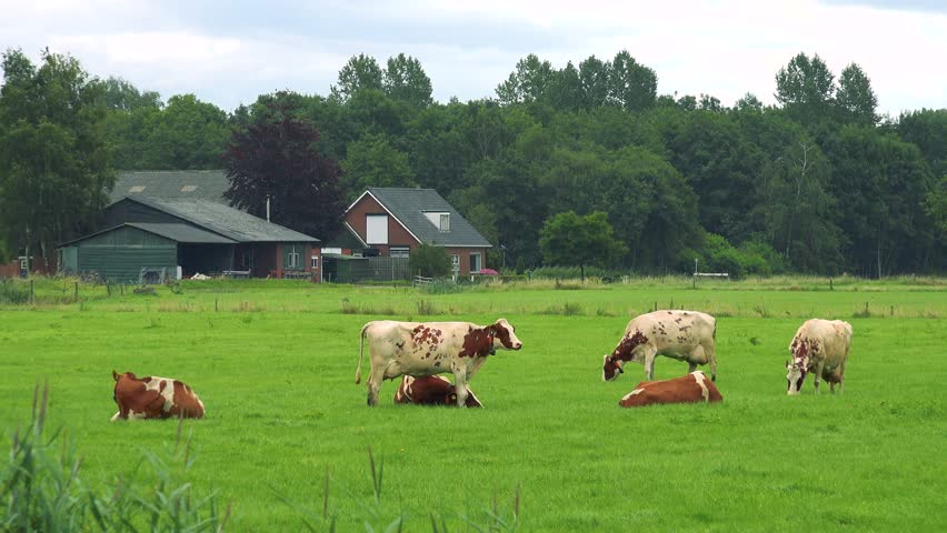Cows lie or graze in a pasture, quaint buildings, a forest and the cloudy blue sky in the background