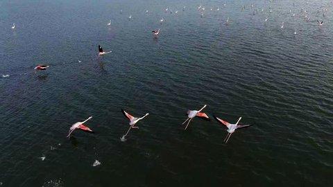 Flying Flamingos over lake