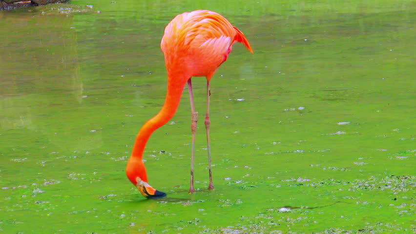 Elegant pink flamingo feeding in stagnant water covered by green algae. Tall exotic bird with long legs forages for food in shallow freshwater pond. Eating tropical animal concept. Camera stays still.