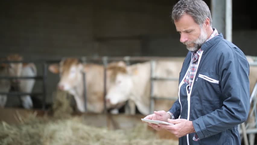 Senior farmer with heifers using digital tablet