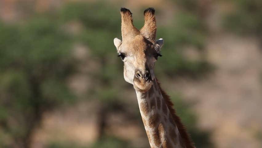 Close-up portrait of a giraffe (Giraffa camelopardalis), South Africa