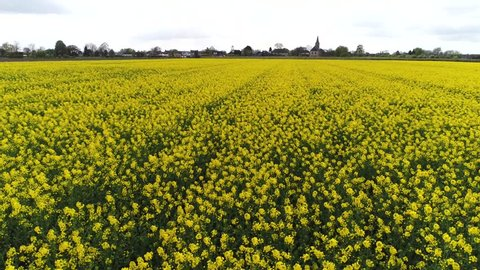 Aerial low altitude over yellow flower field consisting of Canola plants used as edible and industrial oil also known as canola oil produced from seeds and also used for biodiesel or green diesel 4k