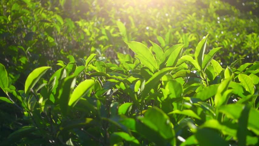 Green tea fresh leaves. Tea plantations #26211008