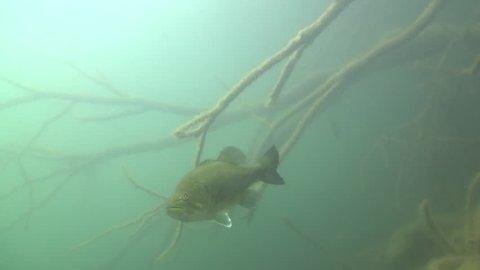 largemouth bass fish underwater in lake,A sinking tree