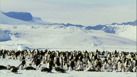 WS PAN Winter landscape with colony of emperor penguins (Aptenodytes forsteri) / Antarctica