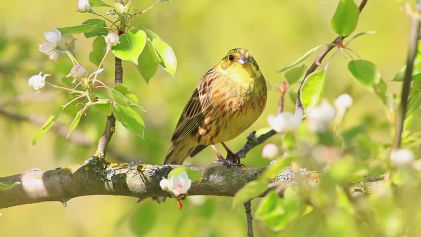 Superb Beautiful Yellow Bird Sings A Song Sitting On A Branch/beautiful Yellow  Bird Sings A Great Pictures