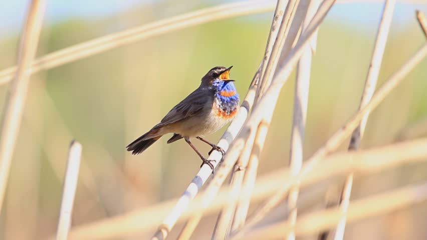 bluethroat colored bird sings the song/bluethroat colored bird sings the song