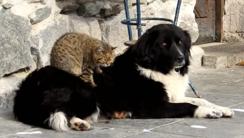 Cat giving a massage to a dog