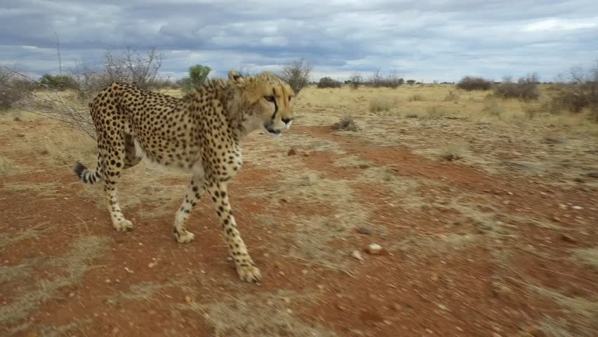 Walking alongside a tame Cheetah. Moving from left to right.