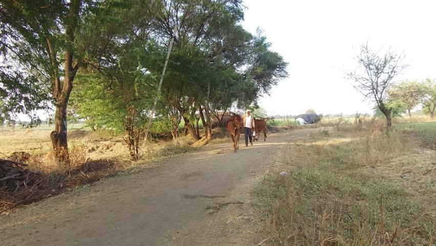 Farmer with his bulls walking to farm in rural village Salunkwadi, Ambajogai, Beed, Maharashtra, India, South East Asia. | Shutterstock HD Video #26305442