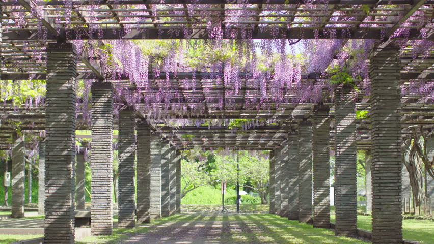 Japanese Wisteria trellis flowers in perspective | Shutterstock HD Video #26313308