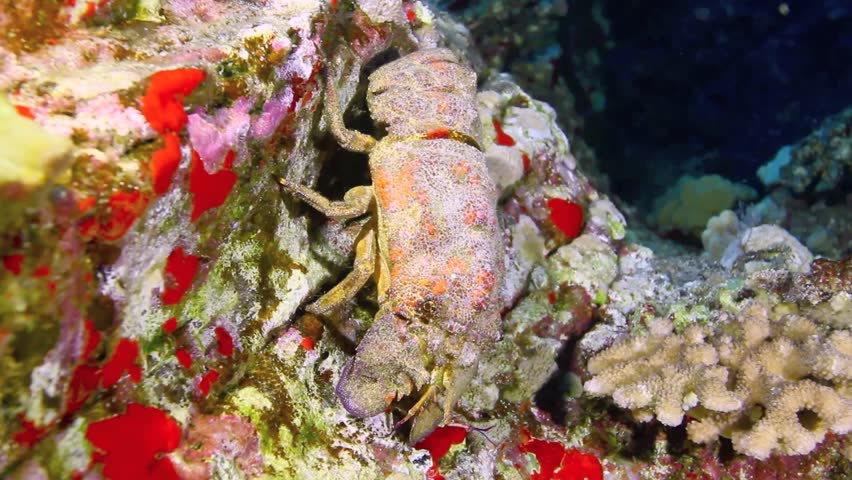 Slipper lobster on steep coral and sponge covered wall, Molokini, Maui