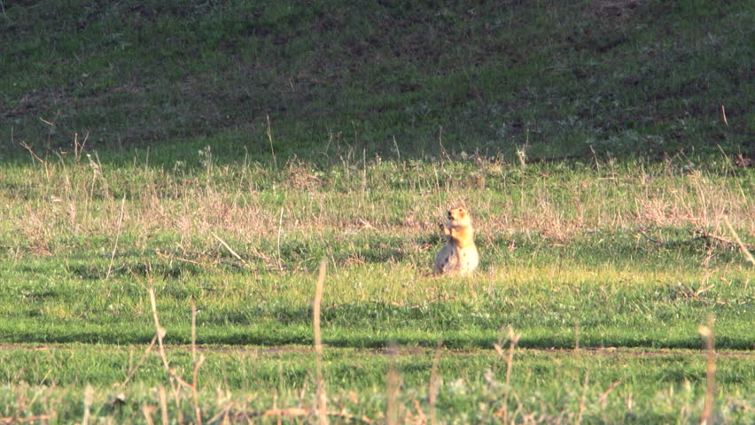 Gopher in the wild. Gopher crawls across the meadow and eats his food 1