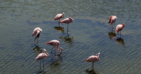 Pink Flamingo birds drying wings, Galapagos Islands, Ecuador. Isabela Island, Galapagos Archipelago, Ecuador.