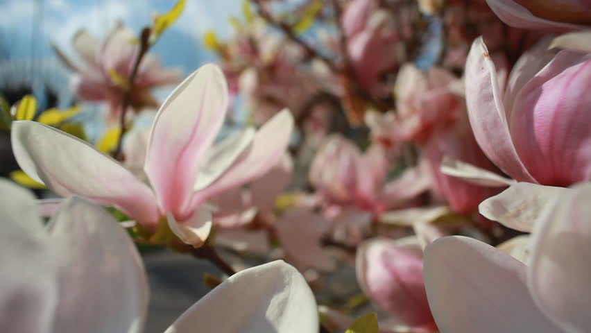 Hd0009beautiful Pink And White Flowers Of Magnolia Bloom Slider
