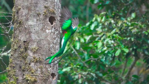 Closeup view in super slow-motion of impressive and spectacular quetzal bird landing to nest hole in tree trunk (flat color version also available)