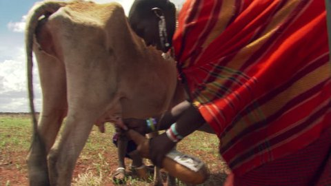 Masai woman milking a cow