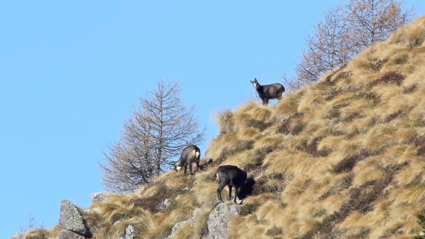 Female chamois with two kids in autumn, in their natural environment.