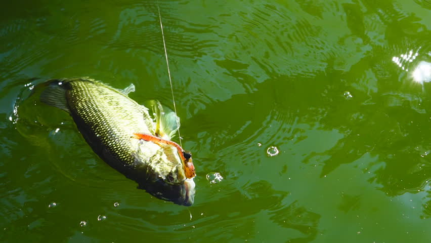 Largemouth Bass (micropterus Salmoides) Fishing, Stock Footage Video (100%  Royalty-free) 26578388 | Shutterstock