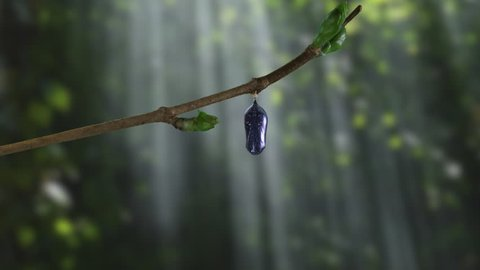 View of a monarch butterfly emerging from chrysalis in dramatic woods