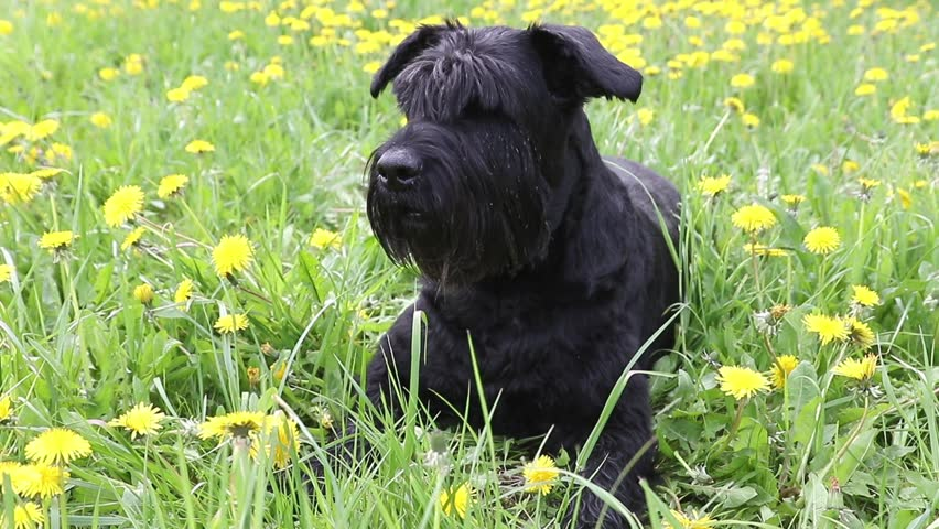 Moving camera footage of the Giant Black Schnauzer Dog lying at the blossoming dandelion meadow #26622154