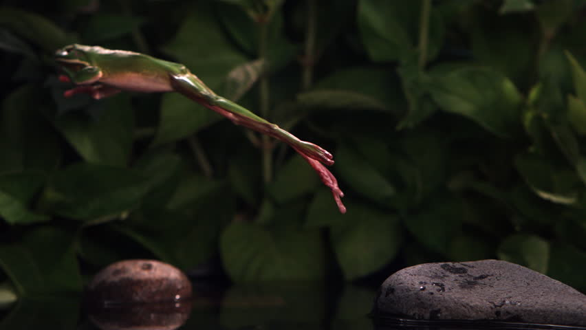 Tree frog making ultra-slow motion leap across a small pool