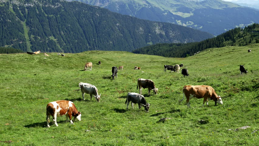 Cows graze on a grassy hillside with the Italian Alps in the distance