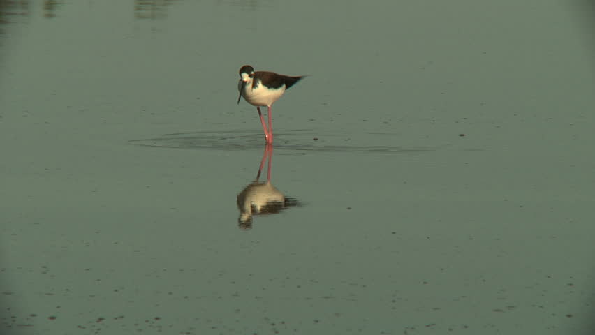 Black-necked stilt feeding in pond