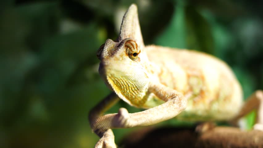 close up of a veiled chameleon as it moves its arms and eyes