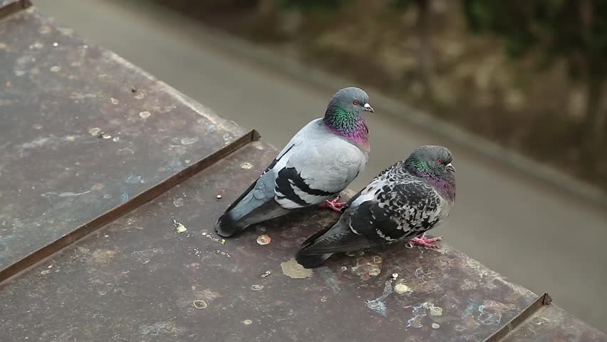 Pigeons sit on the roof and scratch itself. Two pigeons on the roof cleans feathers. Couple of doves together on the house roof
