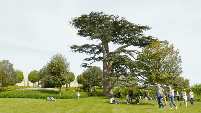 AMBOISE, FRANCE - CIRCA 2017: People visiting the majestic gardens of the Amboise Chateau castle with gigantic Black Cyprus Cedrus libani, Cedar of Lebanon tree in the background