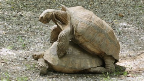 African spurred tortoise (Geochelone sulcata) mating. It is also called the African spur thigh tortoise or the sulcata tortoise and inhabits the southern edge of the Sahara desert, in northern Africa.
