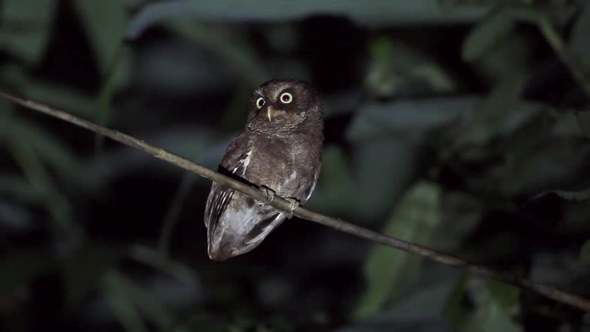 Mountain Scops Owl is the small owl stand and calling in the grass at night  difficult to seen it