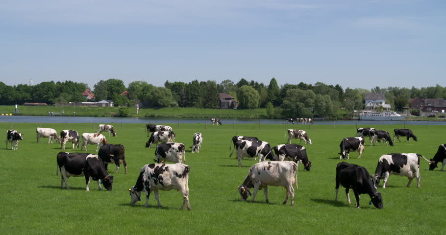 Cows in meadow in front of river Maas, typical Dutch landscape, agriculture Netherlands province Noord-Limburg, 4K